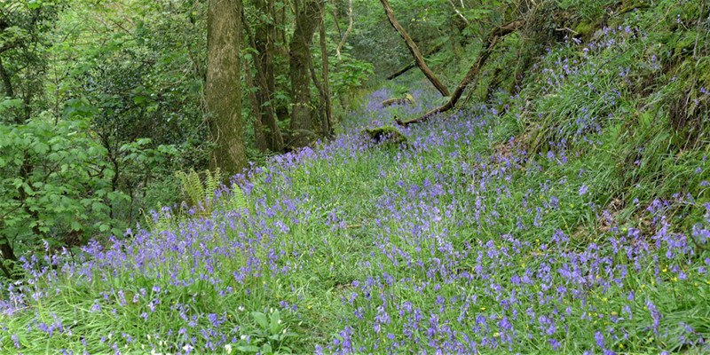 north_devon_bluebells.jpg