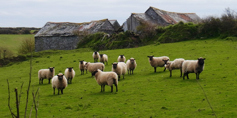 north_devon_sheep.jpg